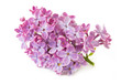 lilac flowers isolated on white background, closeup