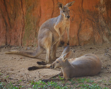 Two Red Giant Kangaroo Resting In The Shade