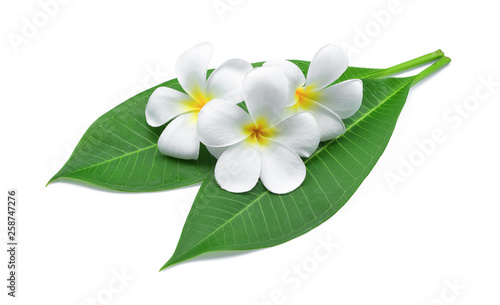 Canvas Prints Plumeria frangipani or plumeria , tropical flowers with green leaves isolated on white background
