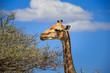 Girafe qui mange des feuilles sur un arbre