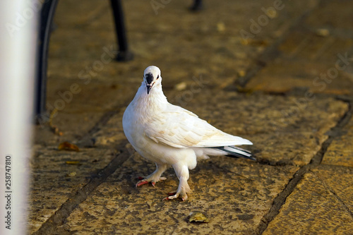 Photo A white pigeon waits patiently for food under the table of a bar in Corfu