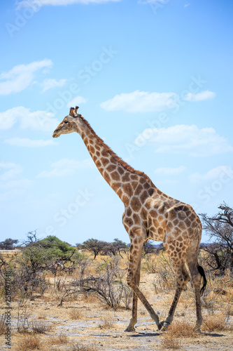 Girafe qui marche dans la nature Etosha safari national parc