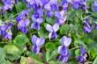 Fiołki wonne kwitnące wiosną, Viola odorata