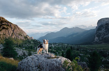 A Dog In The Mountains Is Standing On A Rock And Looking At Nature. Travel With A Pet. Happy Australian Shepherd. Healthy Lifestyle, Adventure