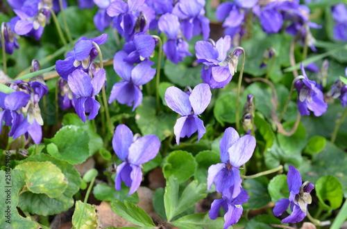 Fototapeta Fiołki wonne kwitnące wiosną, Viola odorata obraz