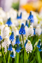 Bright Muscari Flowers