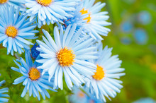 Gropu Of Blue Spring Daisy Flowers In Garden