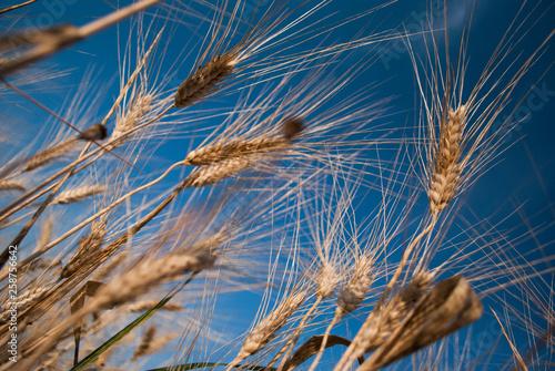 Valokuva  Campi di grano