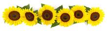 Sonnenblumen Blüten Mit Blätter  - Panorama