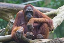 Portrait Of The Adult Oranguta...