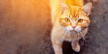 The Problem Of Street Animals. Street Red Cat Looking