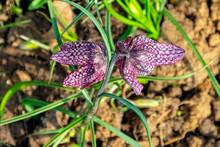 Fritillaria Meleagris Known As...