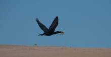 Double Crested Cormorant Flying With Material To Build Nest.