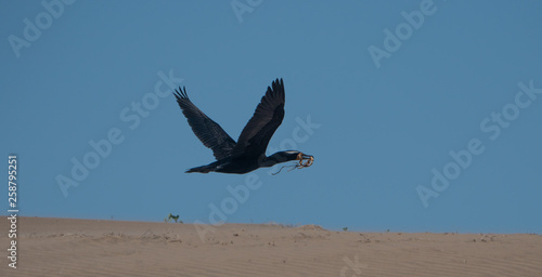 Double crested cormorant flying with material to build nest. Fototapeta