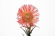 Pincushion Protea Tropical Bloom
