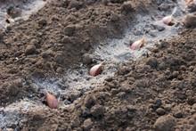 Garlic Cloves In The Furrow Wi...