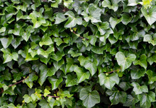 Hedera Helix As A Natural Gree...