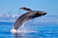 Giant Humpback Breaching Almost Completely Out Of The Ocean.