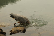 Heron Diving For Food