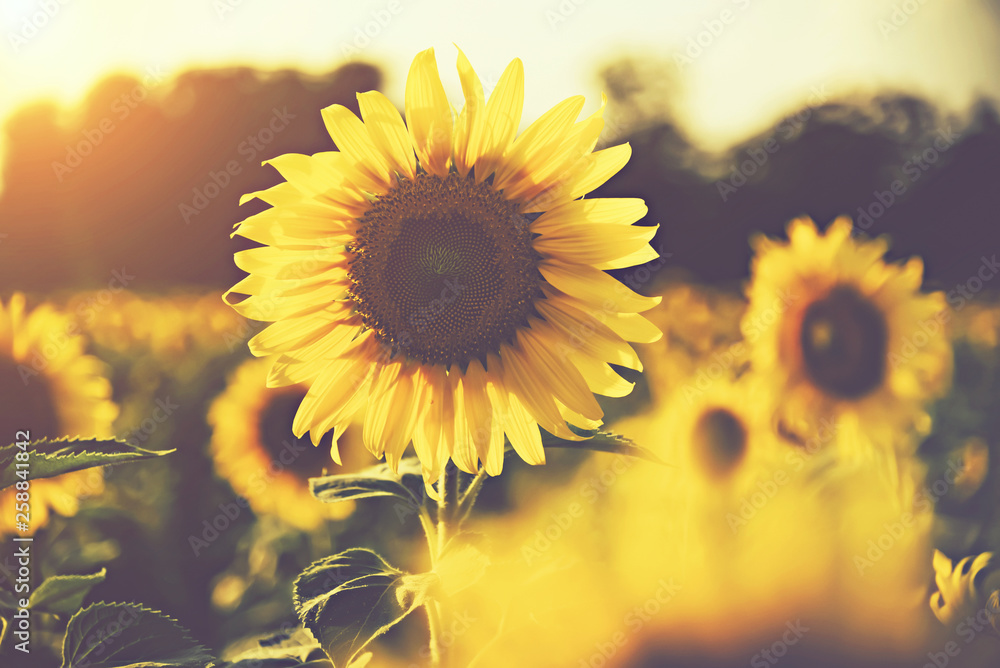 Fototapety, obrazy: sunflower in the fields with sunlight in sunset