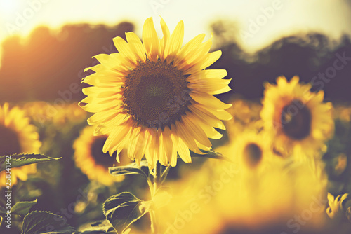Photo sur Toile Aubergine sunflower in the fields with sunlight in sunset