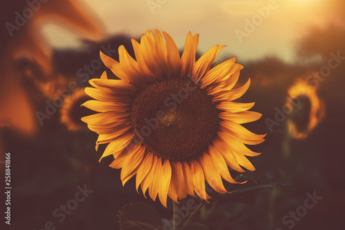 In de dag Zonnebloem sunflower in the fields with sunlight in sunset