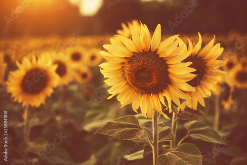 Spoed Foto op Canvas Zonnebloem sunflower in the fields with sunlight in sunset