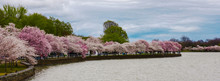 Cherry Blossom, DC