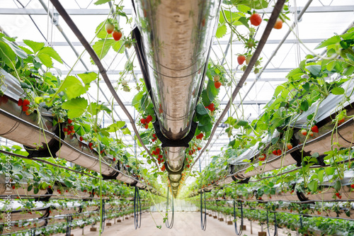 The hydroponics strawberry at greenhouse hydroponics farm with high technology f Wallpaper Mural