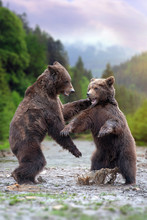 Two Big Brown Bears In River