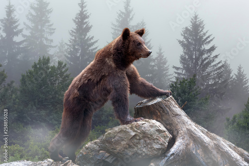 Fotografia Brown bear in the misty fog