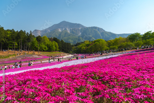 Spoed Fotobehang Roze View of Pink moss (Shibazakura, Phlox subulata) flower at Hitsujiyama Park. The hills are filled with pink, red, blue, white flowers. Shibazakura festival in Chichibu city, Saitama Prefecture, Japan.