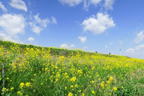Canvas Prints Culture 江戸川土手に咲く菜の花風景