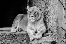 Female Lion At The Artis Zoo A...