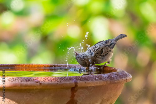 A sparrow drinking, washing and spinning its head in a bowl of water Fototapet