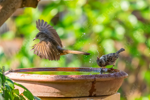 Fotografia A Streak-eared Bulbul flying by a bowl of water while a sparrow spinning its hea