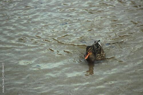 Fotografie, Obraz  Famale mallard quacking.