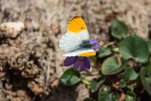 Orangetip Butterfly On Violet ...