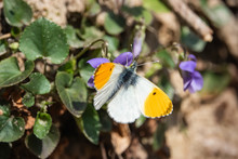 Orangetip Butterfly On Violet ...