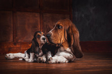 Basset Hound And A Puppy Lay O...