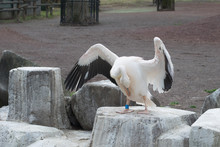 A Pelican Opens The Wings