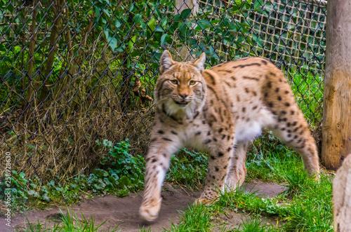 Wallpaper Mural closeup of a Eurasian lynx walking towards camera, Wild cat from Eurasia