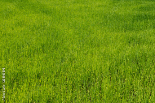 Fotobehang Rijstvelden Green fresh and nature rice field in the farm