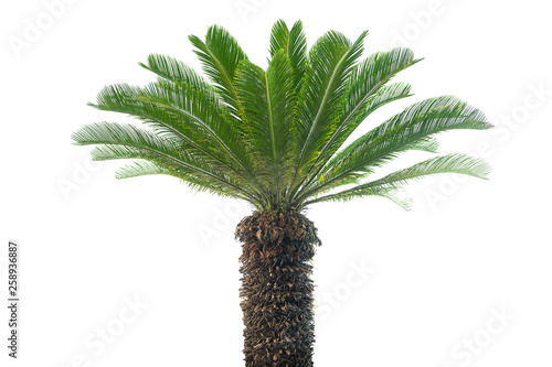 Stickers pour portes Palmier Palm tree isolated on white background