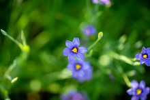 Top View Of Blue-eyed Grass, A California Native Wildflower, Surrounded By A Natural Blur Of Green Foliage.