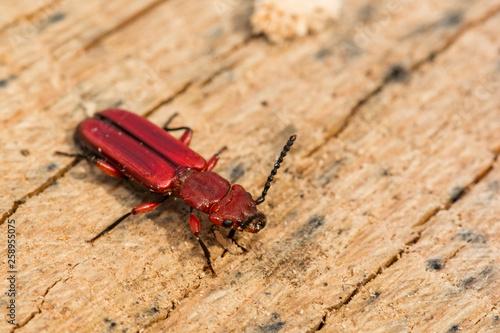Fotografie, Obraz  Red Flat Bark Beetle (Cucujus clavipes)