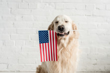 Cute Golden Retriever With Closed Eyes Holding American Flag
