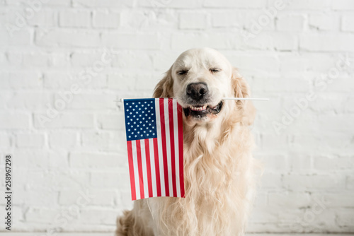 Fotografie, Obraz  cute golden retriever with closed eyes holding american flag