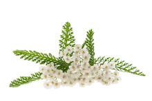White Yarrow