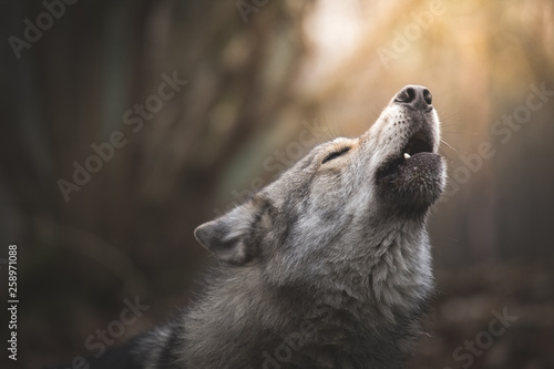 Wolf howling Canvas Print